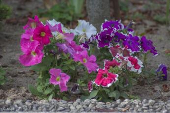 обоя цветы, петунии,  калибрахоа, калибрахоа, петуния, бутон, цветение, нежность