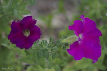 обоя цветы, петунии,  калибрахоа, листья, ярко, бутоны, петуния