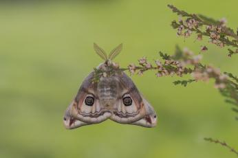 обоя животные, бабочки,  мотыльки,  моли, фон, цветы, ветки, крылья, мотыль