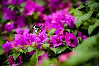 обоя животные, бабочки,  мотыльки,  моли, природа, ярко-розовый, кустарник, цветы, бабочка
