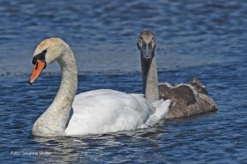 обоя животные, лебеди, серый, белый, пара, любовь, природа, плывут, вода, пруд