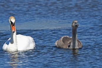 обоя животные, лебеди, вода, природа, плывут, пруд, любовь, серый, белый, пара