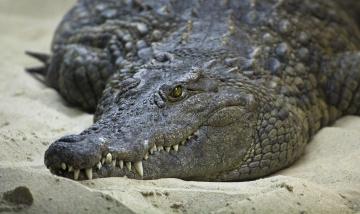 обоя животные, крокодилы, песок, берег, зубы, глаза, крокодил