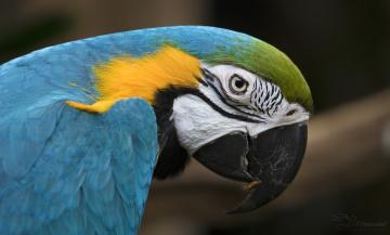 обоя животные, попугаи, забавный, птица, цвет, перья, попугай