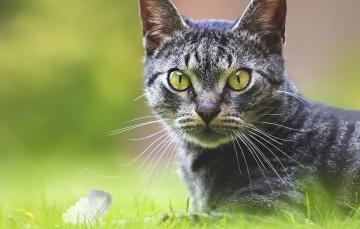 обоя животные, коты, животное, порода, шерсть, окрас, кошка