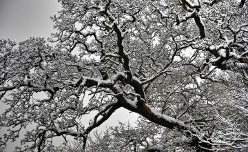 обоя природа, деревья, снег, дерево