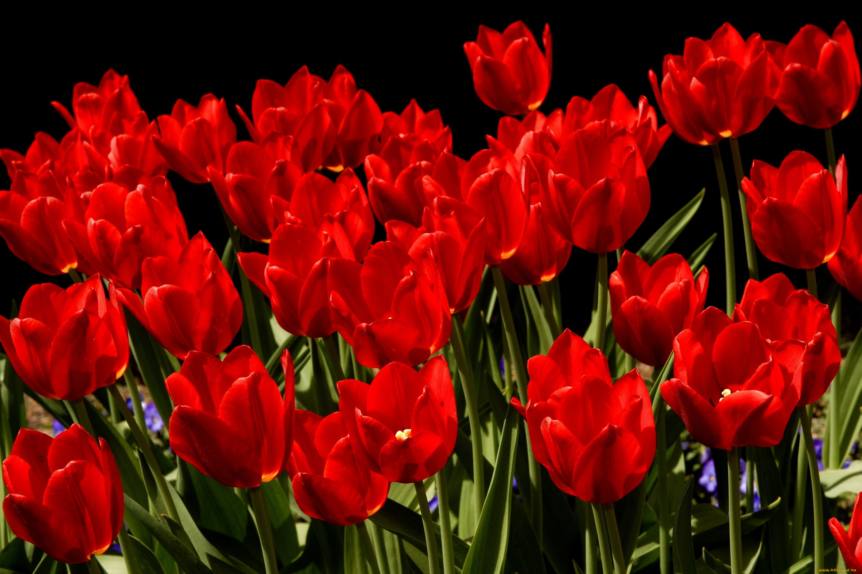 Картинки красных тюльпанов, днем