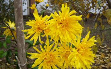 Картинка цветы хризантемы желые