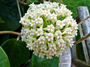 Картинка цветы хойя экзотика