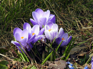 Картинка цветы крокусы первоцветы