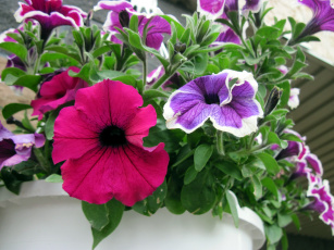 обоя цветы, петунии,  калибрахоа, розовый, лиловый