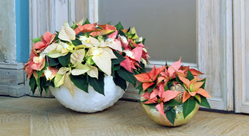 обоя цветы, пуансеттия, звезда, рождественская