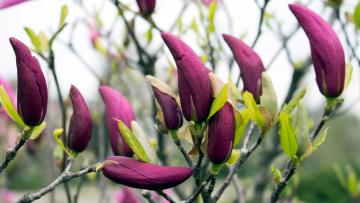 обоя цветы, магнолии, бутоны