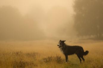 обоя животные, собаки, собака, поле, туман