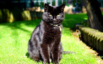 обоя животные, коты, взгляд, сидит, черный, кот