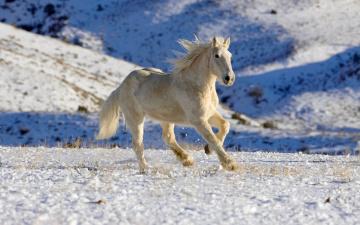 обоя животные, лошади, склоны, поле, галоп, зима, снег, белый, конь, лошадь