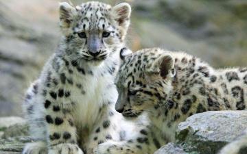 обоя животные, снежный барс , ирбис, ирбисы, детеныши, камни, котята