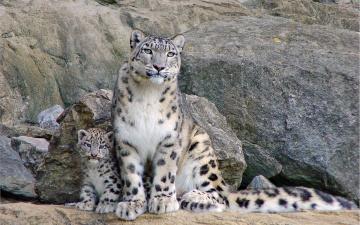 обоя животные, снежный барс , ирбис, скалы, камни, котенок, барсы, ирбисы