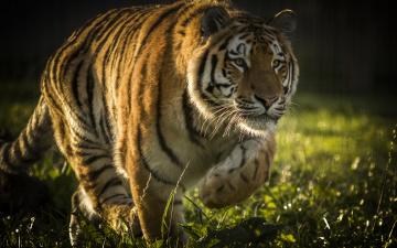 обоя животные, тигры, дикая, кошка, хищник, тигр