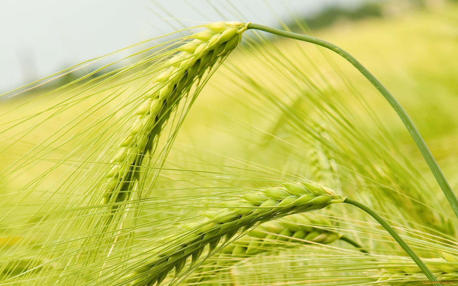Зеленая пшеница  № 2559156 загрузить