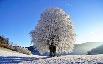 обоя природа, зима, снег, дерево, иней