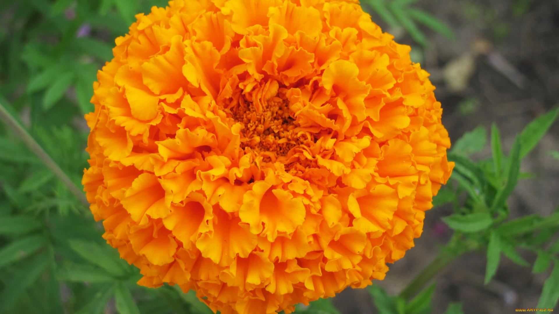 природа оранжевые цветы Бархатцы бесплатно