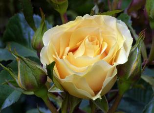 Картинка цветы розы роза бутон