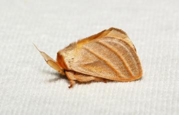 Картинка животные бабочки +мотыльки +моли itchydogimages бабочка моль макро