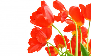 Картинка цветы тюльпаны