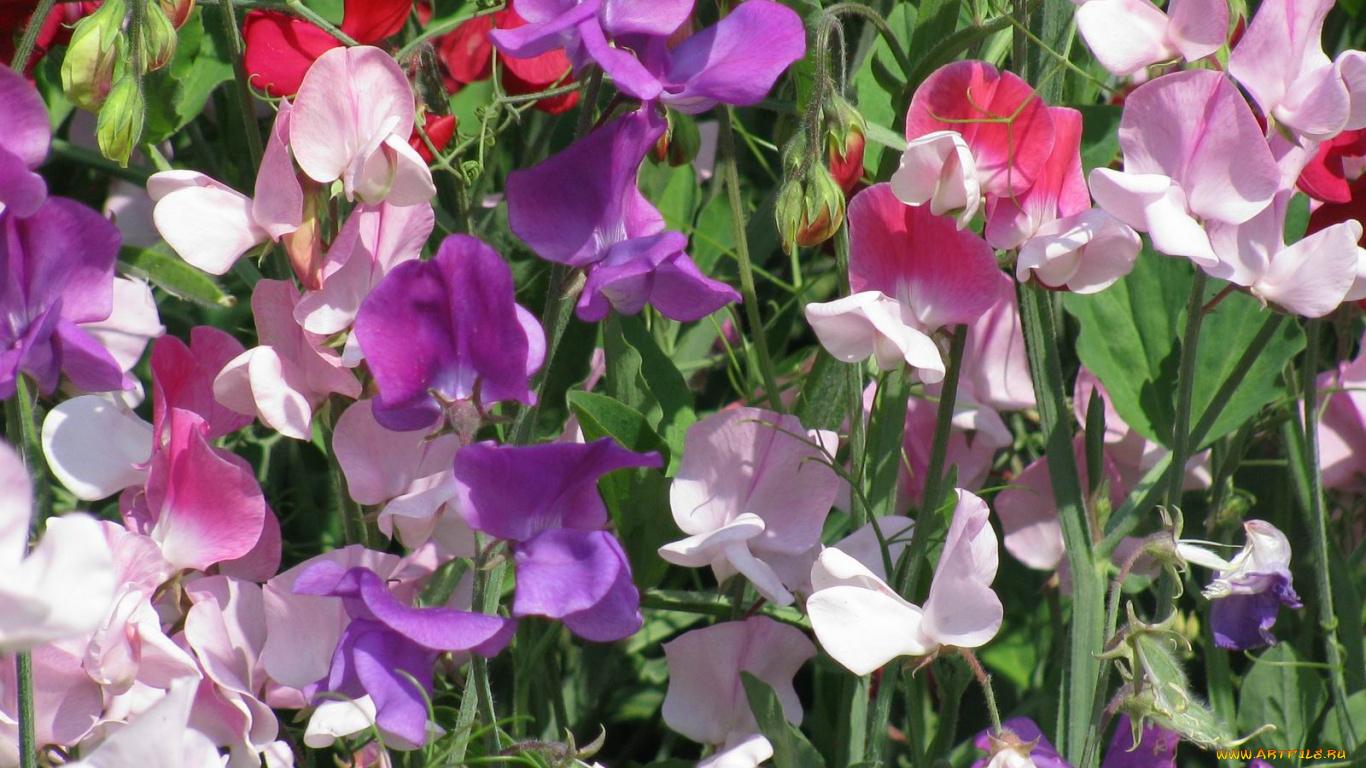 Цветок горошек душистый описание по признакам