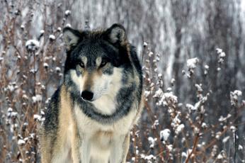 Картинка животные волки хищник зима