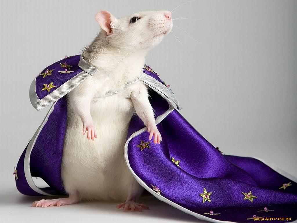 крысы в прикольных костюмах фото это элемент