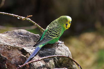 природа животные синий волнистый попугай загрузить