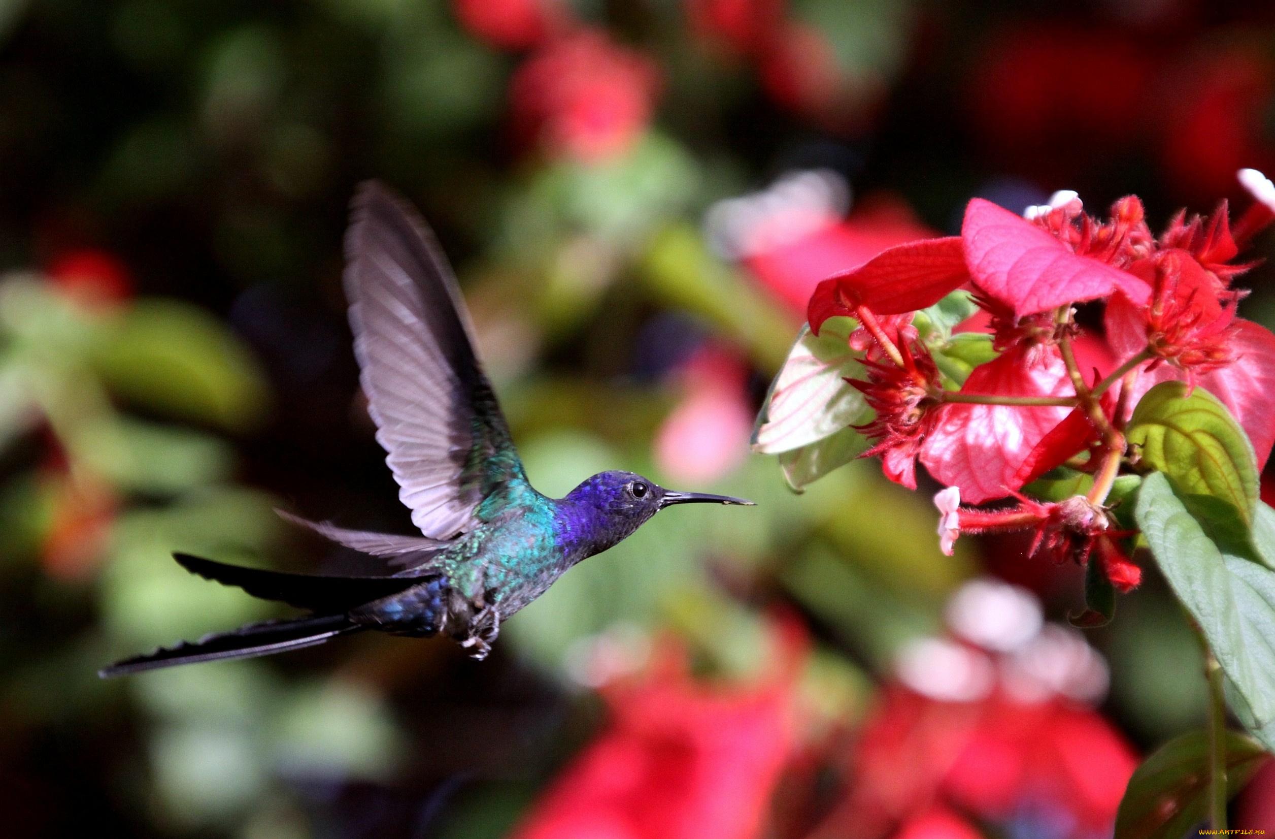 колибри цветок скачать