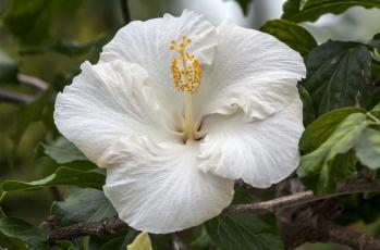 Картинка цветы гибискусы макро