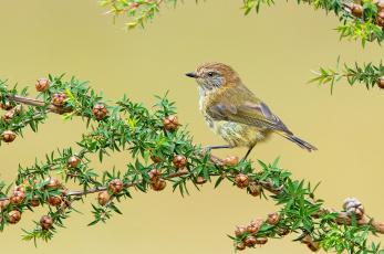 Картинка striated+thornbill животные птицы птичка