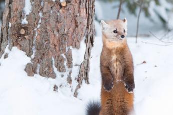 обоя животные, хорьки,  куницы,  горностаи,  ласки,  соболи, куница, зверёк, стойка, зима, снег