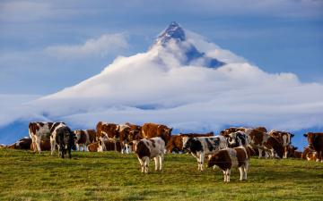 Картинка животные коровы +буйволы гора анды Чили