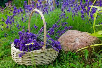 обоя цветы, лаванда, корзинка, камень, трава