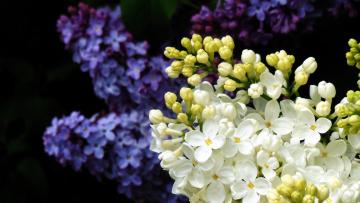 обоя цветы, сирень, гроздья, весна