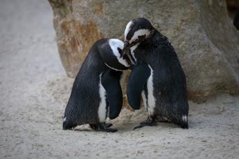 обоя животные, пингвины, весна, зоопарк, любовь