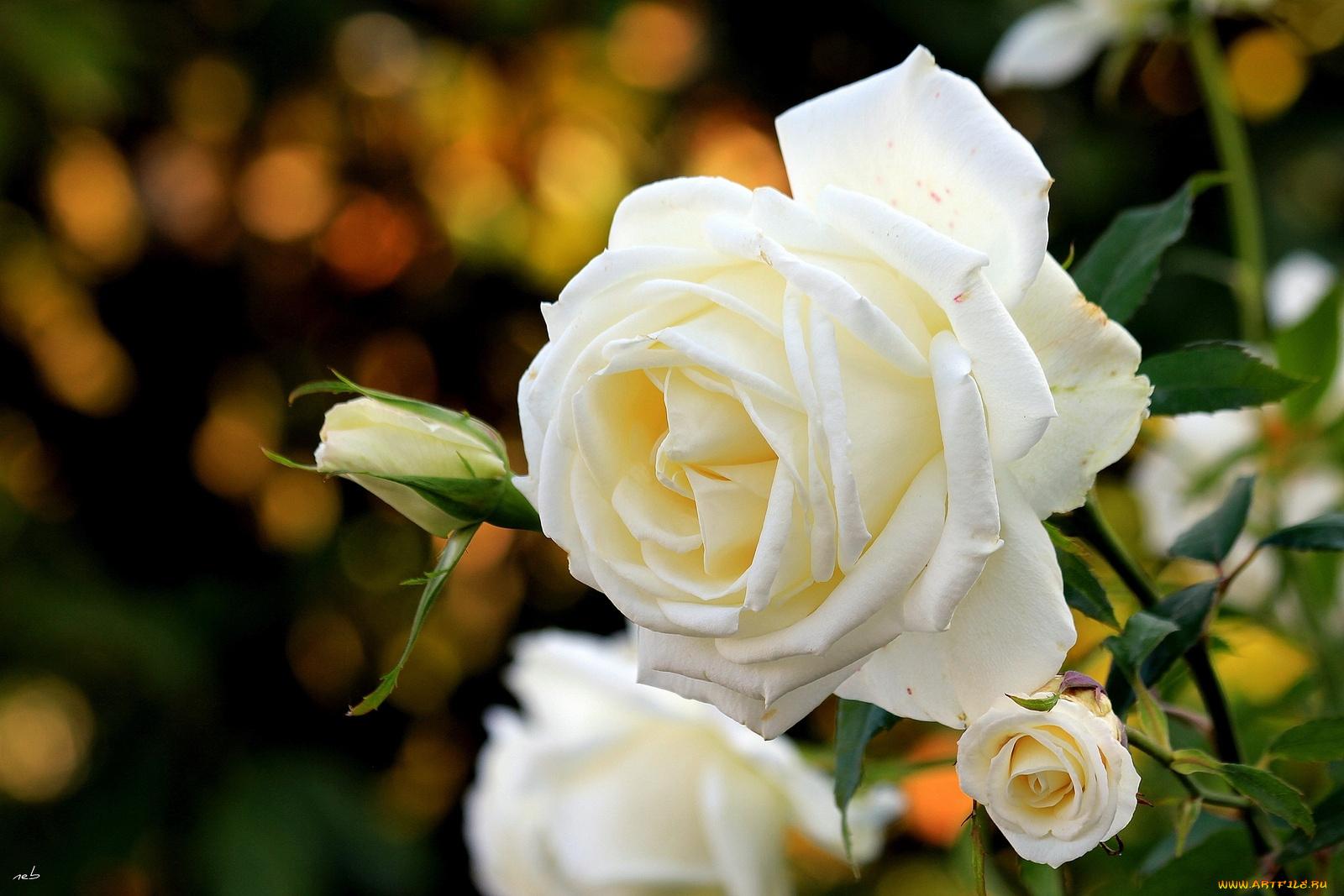 Картинки с цветами белые розы