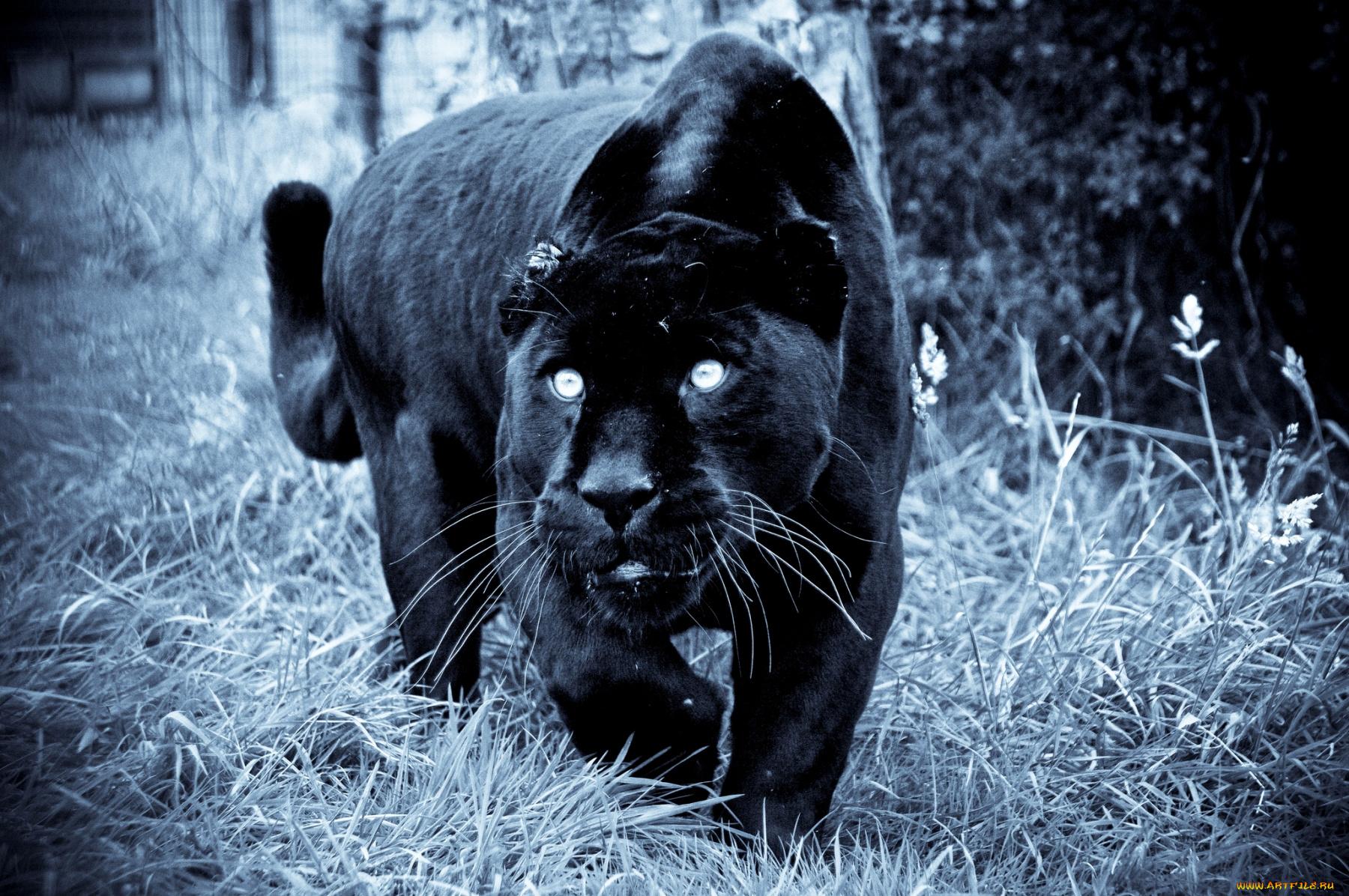 Поэтессе, картинки на телефон красивые и крутые пантера