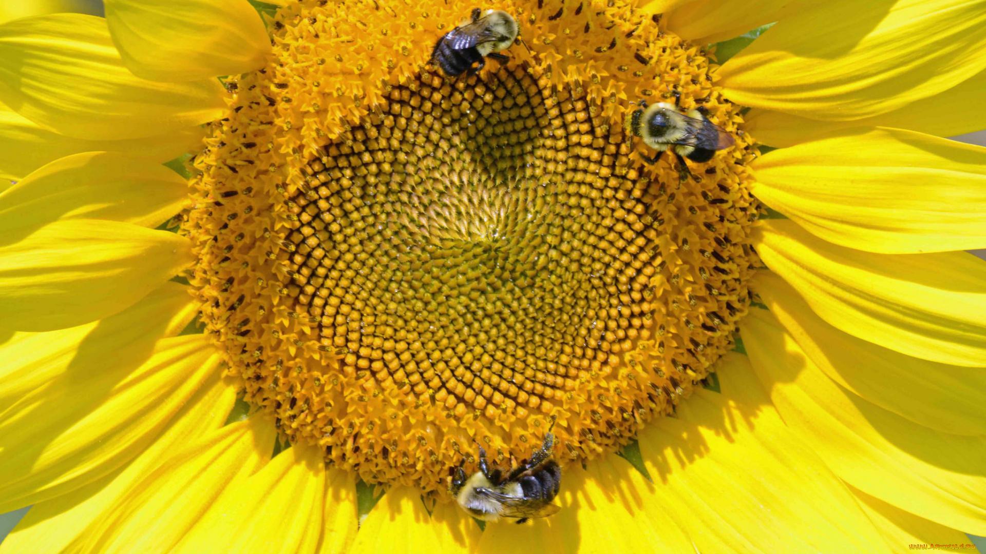 Пчела на подсолнухе  № 657651 без смс