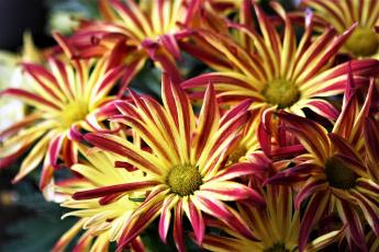 Картинка цветы хризантемы пестрые