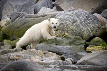 обоя животные, медведи, камни, зоо, мишка, животное, белый