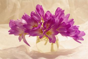 обоя цветы, крокусы, сиреневый, цвет, красота, множество, осень, сентябрь, растения, луковичные, букетик, радость, природа, композиция, флора, безвременник