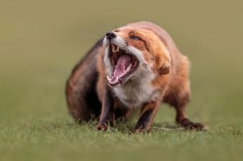 обоя животные, лисы, природа, животное, лисица, пасть, лиса, трава