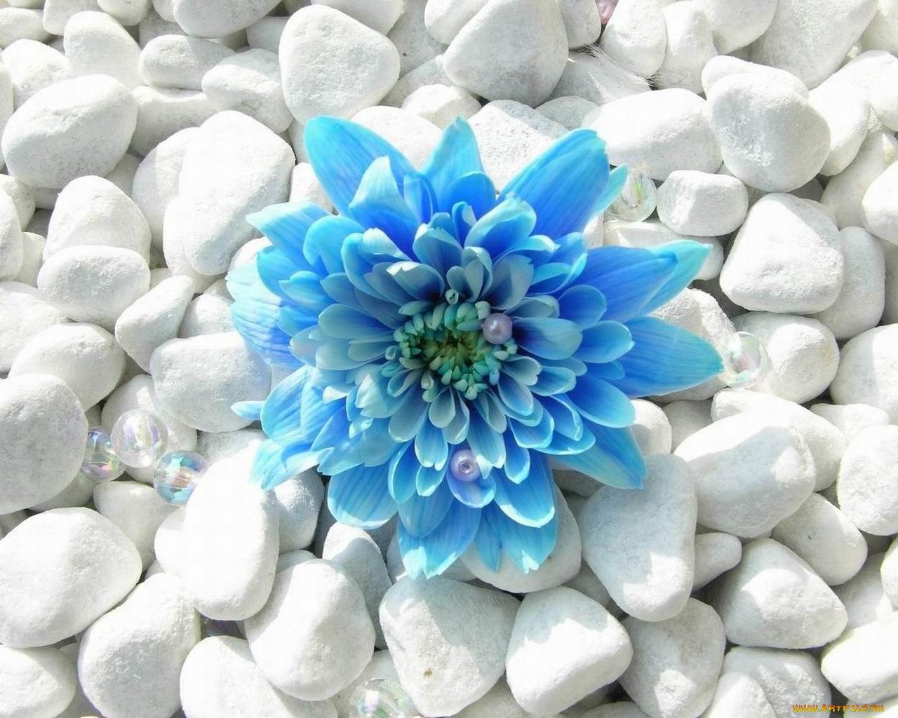 Братишка, картинки цветы голубые