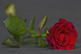 Картинка цветы розы бутон